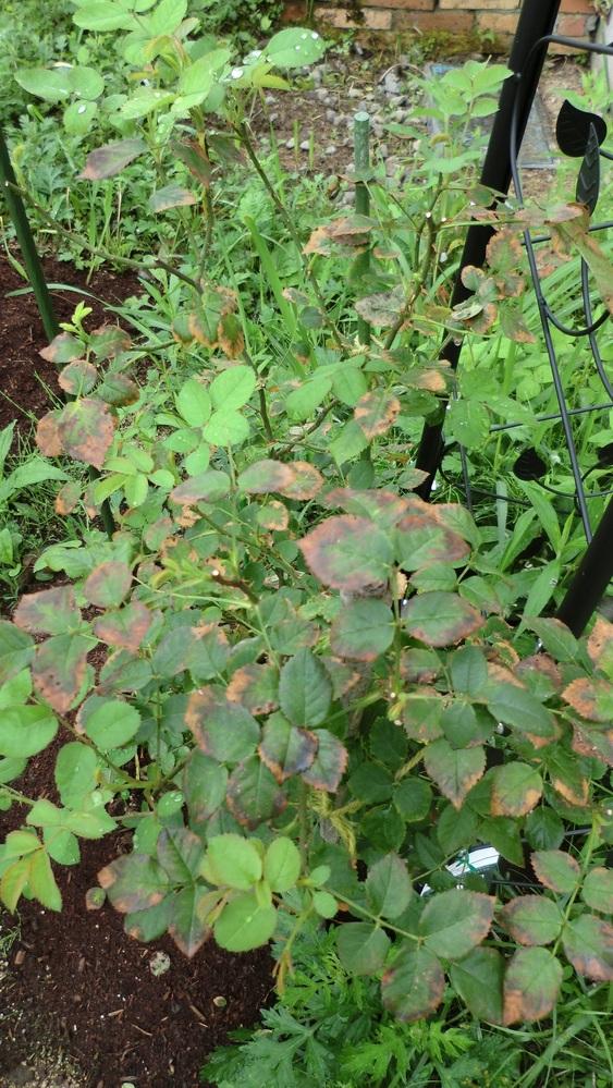 バラ初心者です。 バラの葉が不調です。対処方法を教えてください。よろしくお願いします。 品種:ローブリッター 植付:今年4月29日。(大苗) 家の東側に植え付け。もとは田の上に20cmほど真砂土を盛り土した土地なので、直径50cm深さ60cmほど穴を掘り、相原バラ園のバラ培養土のみで植え付け。地面から20cmほど高植しています。完熟牛糞3cmくらいマルチングしています。 陽当たり: この季節、日の出から正午頃まで直射日光があたります。ただ午後時頃から1時間ほど強い西日があたります。 これまでの生育状況: 相原バラ園で育てた台木に芽接ぎされた苗なので、多くの蕾が付き新芽も多く伸びていたので、すべて開花させました。花がら切りはこまめに行い、房の花がすべて咲き終わったら、5枚葉のところまで切りました。花後の生育も順調で、5枚葉のところから新芽が出ていますし、株元からシュートも出てきています。植え付け後2週間ほどは、芽がほんの少し枝垂れて来た時だけ大量の潅水をしました。地植えなのでその後は特別に潅水はしなくても新芽の生育は順調です。 病害虫: 5月21日、葉の数枚、うどん粉病の症状を呈したので、夕方STサプロール乳剤1000倍液を株全体に散布。その後、うどん粉病の症状はでていません。黒点病にもかかっていません。こがねむしに花を食害されたくらいです。予防的に花に軽くベニカXファインスプレー散布したこともありますが、あまりよくないと思い、その後はコガネムシを見つけ次第、取り除くだけにしました。他の虫害はありません。 困っていること: S先月末くらいから葉の一部に茶色の点(枯れた感じ)が出始めたのですが、病変とは思えなかったので何の処置もせず様子を見ていましたが、今時点、写真のようにひどい状態になりました。STサプロール乳剤の薬害とは思えず、ローブリッターは強い日差しが苦手だが、新枝が順調に伸びていれば問題ないと書いている本がありましたし、大苗とはいえまだ十分に根が伸びてはいないので、仕方ないのかなとは思っています。西日の当たる側に寒冷紗を掛けるくらいでよいでしょうか(まだ掛けていません)。症状がひどいのはほぼ外側の葉で、日陰になる部分の葉は正常です。