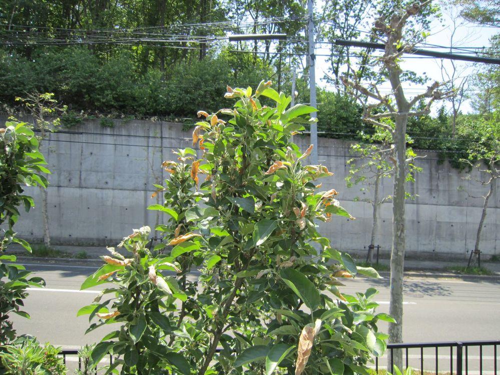 りんごの葉が枯れます。 何の病気ですか、くすりは何を使えばよいか教えてください。