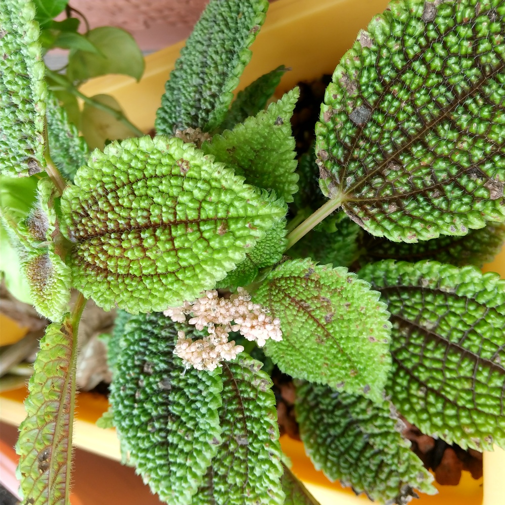 この植物の名前を教えて頂きたいです 白いぷつふつした花?のようなものから煙(粉)を飛ばしています