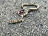 玄関に怪我をした蛇がいました。アオダイショウの赤ちゃんでしょうか? またこれはどう手当してあげたら良いですか?
