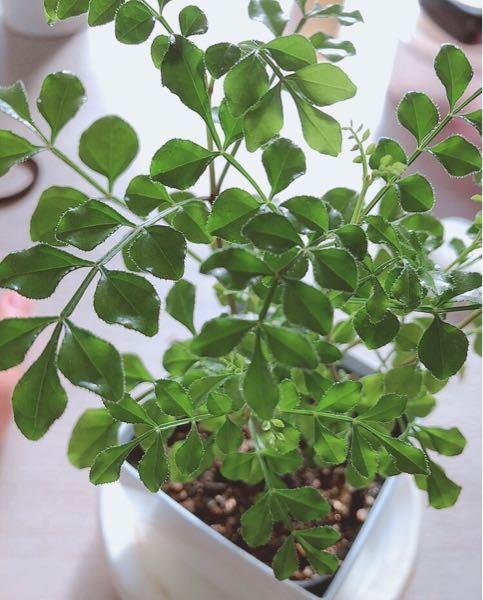 こちらは何の観葉植物でしょうか? 根本は木っぽい感じで。売られているサイズはミニサイズでした。わかる方教えてください。