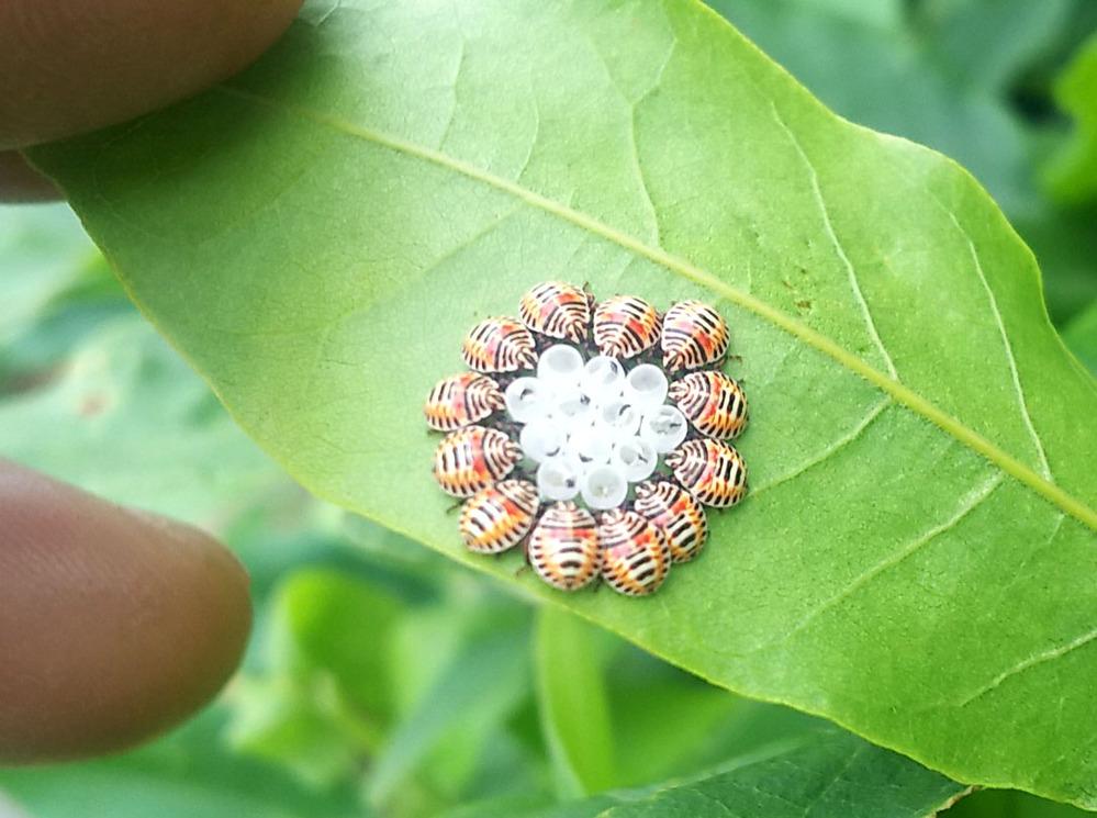 6月13日、庭藤の葉の裏にリングのように虫が張り付いていました。 このテントウムシのような虫は害虫でしょうか?また何という種類でしょうか? 初めて見ましたし、藤全体の葉の裏も見渡しても他には見つかりませんでした。