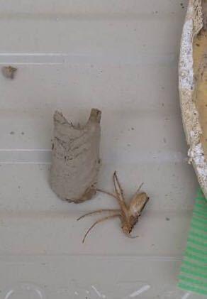 この虫はなんでしょうか? 換気口からなにやら音がして中を見てみると、巣らしきものがあり、中からこの虫が出てきました。 大きさは2cm程でした。 この虫はなんという虫でしょうか? ご回答よろしくお願いします。