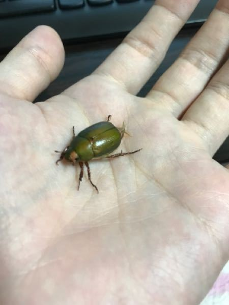 この虫の名前教えてください。 大阪の都心にいました。