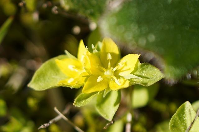 磐梯山で見た小さな花です。 名前を教えて下さい。 宜しくお願いします。