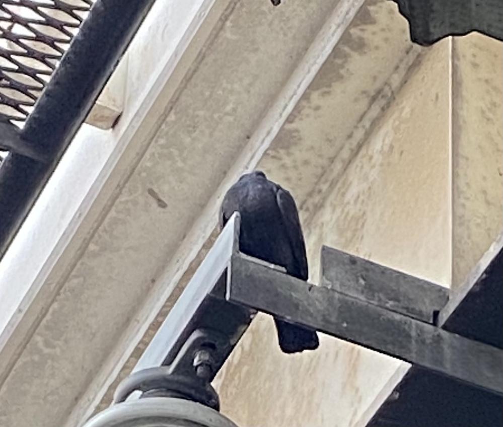 倉敷駅のホームに行ったら電線? の所に黒い鳩止まってたんで珍しいなって思って写真撮ったんですけど、顔が見えてなくて これって鳩で合ってますでしょうか笑笑?