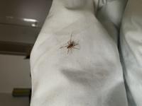 この蜘蛛の種類分かる方いませんか?今日寝る時にベット上にいました。