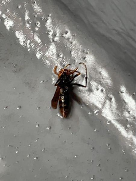 この蜂はなんでいう蜂でしょうか? 今朝ベランダで弱っていました。