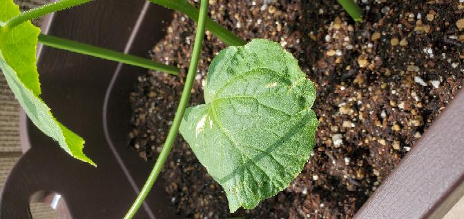 2日前にプランターにきゅうりの苗を植えました 今朝見ると、画像のように葉っぱが枯れているようになっていたのですが、何か問題ありますか? ちなみに家庭菜園は初めてです
