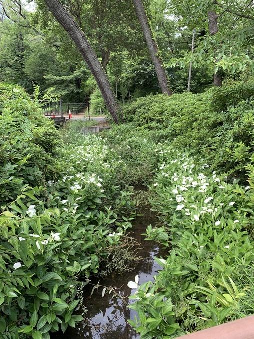 小川の両側の白いのが混ざっている植物は何でしょうか?