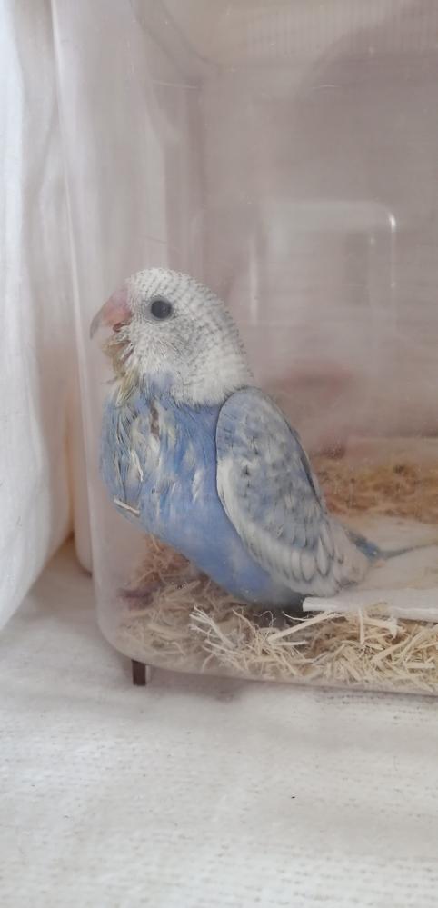 セキセイインコの雛の育て方。 昨日、5月中旬に生まれたセキセイインコの雛をお迎えしました。 お店の方には朝晩2回、雛餌をあげて、少しバタバタと飛ぶようになってきたらケージに移し、まき餌をしながら雛餌をあげてくださいと説明を受けました。 しかし調べてみるとどこも餌は4回位と書かれています。 今日は7時頃、12時半頃にあげて、18時頃にあげる予定です。 間を取って3回にしてみましたが、大丈夫でしょうか?? またそのうがふくれている状態だと消化していないようですが、 これ これはご飯から2時間半くらいの写真なのですが、膨れているのでしょうか? 次の18時頃までにこの膨れが無くなっていればあげてよしという事ですか? 鳴いたり、バサバサしたり元気だと思うのですが、心配で。 また、電気毛布で包むといいということで、虫かごの前面以外を電気毛布で覆っているのですが、虫かごと毛布の間がたまに33℃になっているのですが、33度は暑いですよね? 33度のときは30度くらいになるように毛布の調整をしているのですが、そうすると毛布が温かくなくなったりします。 かごの中が温まっていれば、毛布が暖かくなくても大丈夫ですか? それとも、毛布は常に温かいほうが良いのでしょうか?