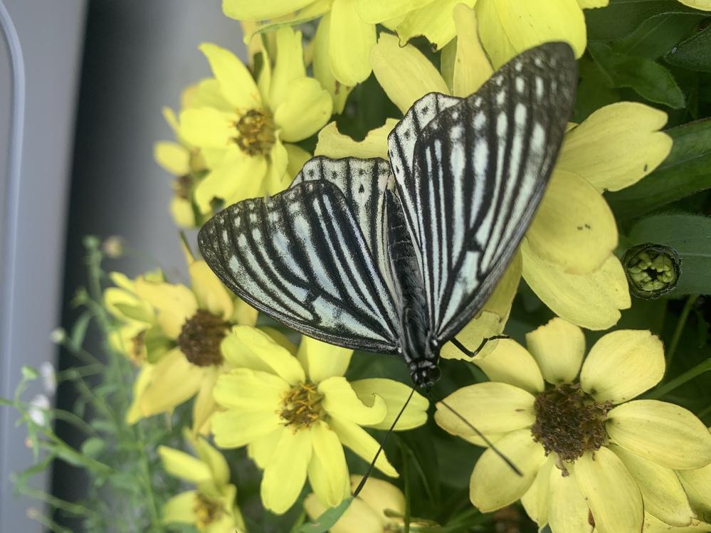 この蝶はアゲハでしょうか? 違う種類でしょうか?