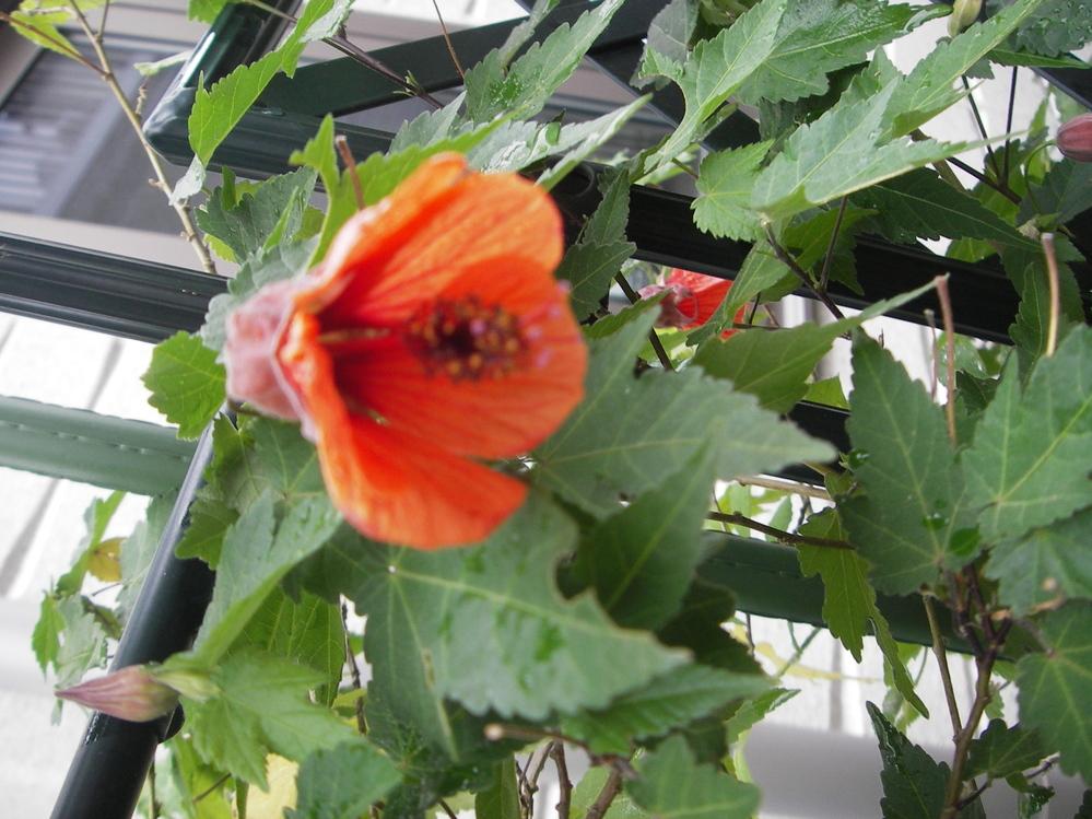 写真の濃い橙色の花は何という名前の花でしょうか?弦が伸びて咲いています。 毎年、6月頃咲いています。 写真が鮮明でなくて申し訳ないです