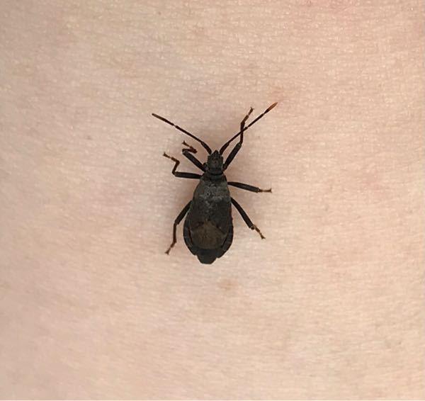 この虫はなんという虫でしょうか? 家庭菜園をしているのですが、よく枝とかに掴まって2匹かお尻とお尻をくっつけ合っています…
