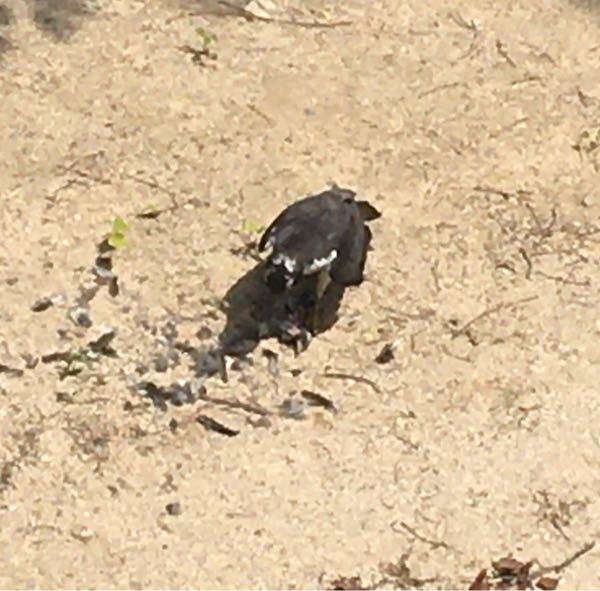 猛禽類でサイズがカラス程度、二階からみて喉下から後頭部にかけてと肩周りに白い部分が見えました。 頭、羽根、背中は真っ黒でした。 画像添付しますので鳥の名前を教えて下さい。 ツバメを足で押さえて羽...
