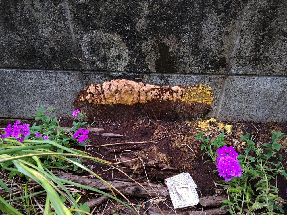 今朝、庭のブロックに黄色い塊(30cm以上)が付着していました。昨日まではなかったような気がします。(添付写真参照して下さい。 ) これが何か分かる方は教えて下さい。 出来れば、処置方法も教えて下さい。 よろしくお願いします。