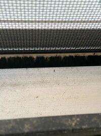 画像が小さくて分かりずらいのですがこの虫はなんだと思いますか?窓の下にいる所を見つけました。何匹かうろうろしてまして、これよりももっと小さい虫もうろうろしてました。人間に害はあるのでしょうか?