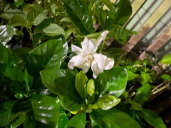 この花はクチナシですか