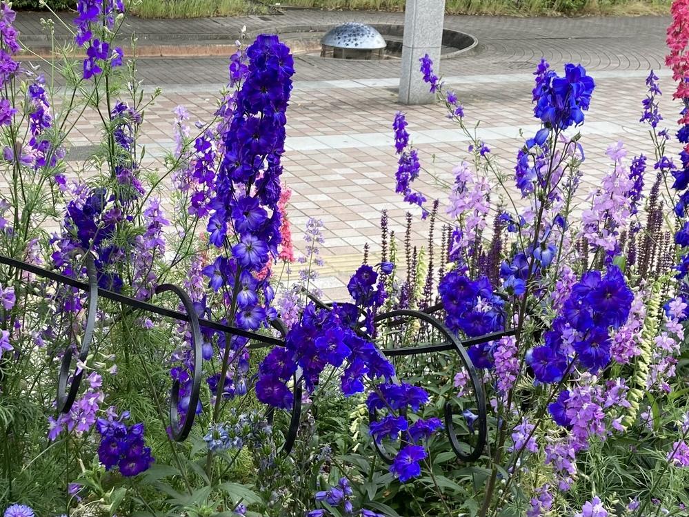 この青〜紫のグラデーションになっている花の名前わかりますか? 家に植えたいので教えてくださいm(_ _)m