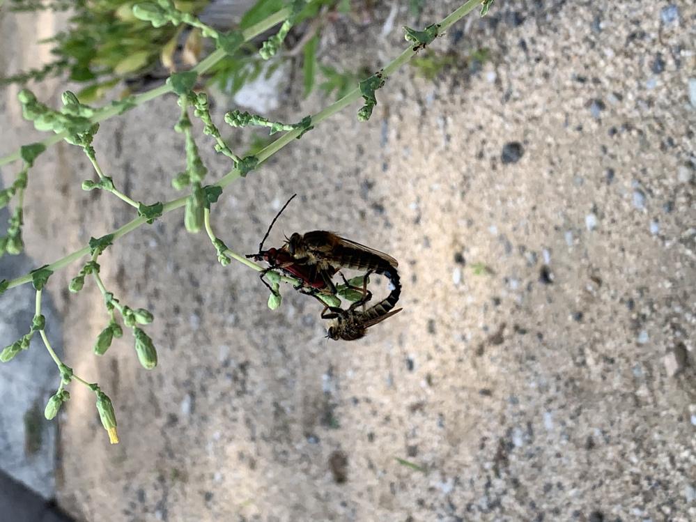本日、蜂の不思議な交尾の様子を見つけました。 赤い色の虫?の上に乗った蜂と、向かい合った蜂が交尾しているようです。 これはこういった種類の蜂なのか、なにかご存知の方はいらっしゃるでしょうか? 不思議だなぁと思っています。