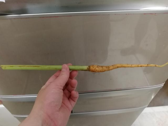 この植物はなんでしょうか? 人参にしては茎が太くて長いです。