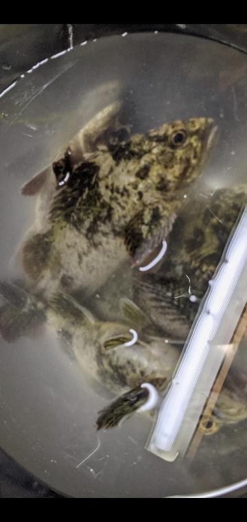 この魚はカサゴとタケノコメバルのどちらですか?