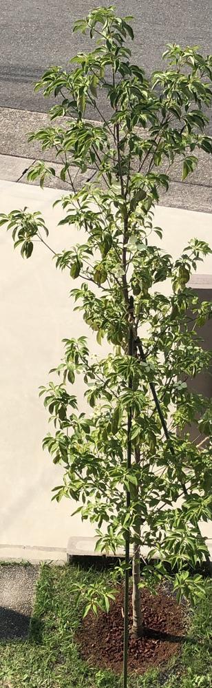 質問 1.写真の常緑ヤマボウシの状態と、移植直後の水遣り頻度について、ご教授願います。頂上、葉先の葉が丸まり、落葉が止まりません。 毎日の水遣りは根腐れが怖いので、3日に一度程度(表面が乾いたら)朝にシャワーで2、3分散水してます。花はちらほら咲いて居ます、枝はしなりもあり枯れては居なさそうです。住まいは中部地方です、梅雨に入り土が乾くのも遅そうです。 質問 2.植木というのは植えてからどの程度の期間で根付く、活着するものなのでしょうか?このままのペースでたまにの水遣りで良いのか不安です。梅雨が明けたら毎朝水遣りなのかな?と思案してます。 また、不安過ぎてメネデールを2リットルペットボトルに500倍で薄めて合計4リットルを、根元にあげてみましたが、足りないのか効果の程はわかりません。これも適切な量や頻度や期間をご教授願います。不用ですかね? 背景 今年の5月の中旬に、3mの常緑ヤマボウシを植えました。芝生を剥がし、庭土の深部40cmくらいの粘土質が気がかりでしたので、根株の2回り程大きく穴を掘り、山砂赤玉土腐葉土芝生の目砂など、あり物の土を混ぜ、水決めも行いました。 肥料はやっていません。 土の表面の乾きがわかりやすいように、赤玉土とバークチップで蓋をしています。 植え付けの説明書には、葉が萎れたり落葉は根付くまでは続くため、様子を見て、適度に剪定下さいとありましたが、見栄えが寂しくなるため剪定はしてません。 観葉植物は重さを測って水遣りしてますが、植木はど素人なので色々検索しましたが答えがわかりません。 植え付け後は毎日水遣りと言うサイトもあれば、表面が乾いたらやる、地植えは不用など困惑しております。 ヤマボウシに詳しい諸先輩方、ご回答を宜しくお願い申し上げます。