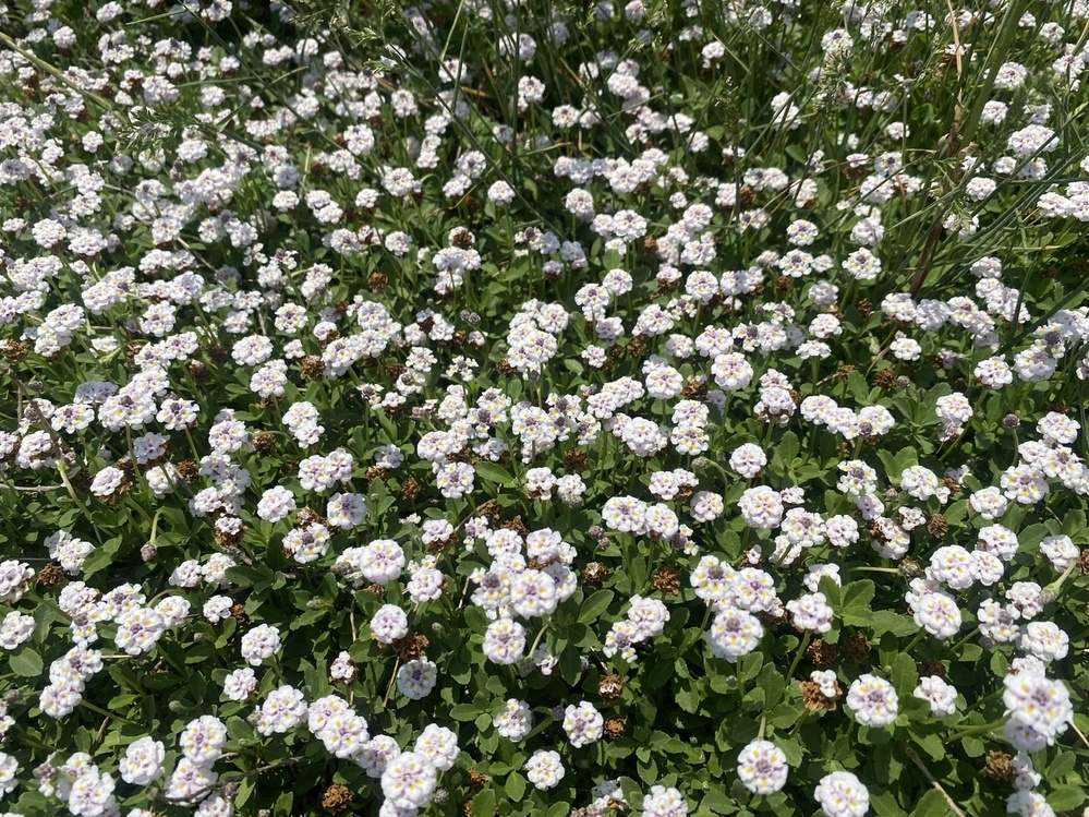 今の時期山形の河原にこの花が咲いていました。 名前教えて下さい。