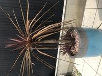 コルジリネ レッドスター コルジリネ レッドスターが画像のような状態になってきました。 購入三年目で、今年五月くらいから根元から葉が生え始め、それと入れ替わるように上の葉が外側から枯れてきました。  この先、どのようにしてケアしていくのがベストなのがお詳しい方のアドバイスをいただきたいです。
