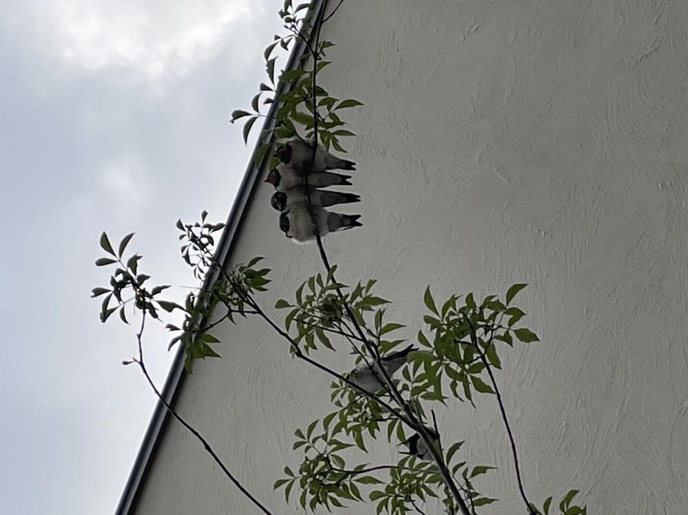 こんにちは。 この時期になると玄関横に植えてるアオダモの木にツバメ達がやってきます。 19時前ぐらいから子供達が5.6羽止まり、親達が一生懸命エサをあげてまた飛んで行き、いつもその姿を子供達と見ています。 夜になり、そっと見てみると15羽止まっており、びっくりしました笑 朝には居なくなってます。日中は一体どこへ行ってるんでしょうか? とても可愛くて気になってます。 どなたか教えて下さい。