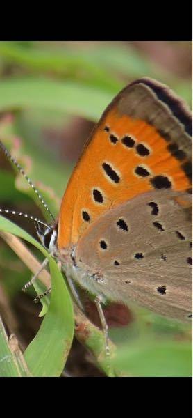閲覧ありがとうございます。 この蝶々?蛾? の名前がわかる方おられますか?