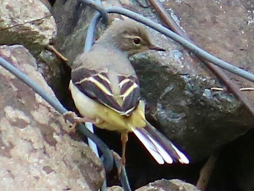 閲覧ありがとうございます。 この鳥の名前を教えてください。 よろしくお願いします。