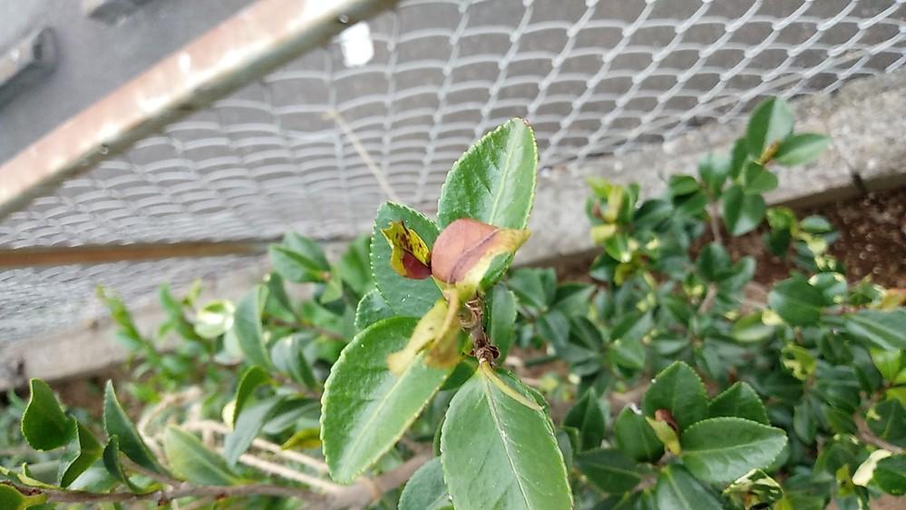 山茶花の若芽が枯れてしまいます。 背丈は120センチぐらいで2カ月ほど前に地植えをしました。 水やりは朝夕あげていましたが最近若芽が皆、枯れてしまう状態です。水やりし過ぎなのか水が足りないのかわかりません。、 なんだか元気もない感じです。 葉が一部黄色っぽいのはそういう品種です。 写真を見づらいですが、よろしくお願い致します。