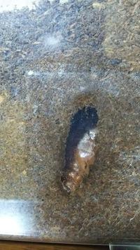 カブトムシのメスの幼虫ですが蛹になり1週間ちょっとがたちました。 ですが、最近気づいたのですが、幼虫に白っぽいのが付いてるのが気になります。 白っぽい部分は乾燥してるようなかさぶたなような見えかたもしてるように見えます。 これはカビでしょうか? なにか対策みたいなことなにかありますか? どうぞ宜しくお願い致します。