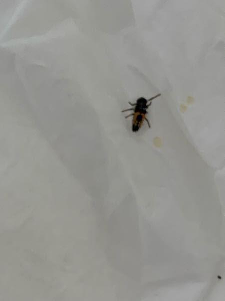 これはなんという虫ですか?なんか黄色い液体出してました(捕まえた時潰してしまったかも) 最近夜も窓を開けていたから入ってきたんでしょうか