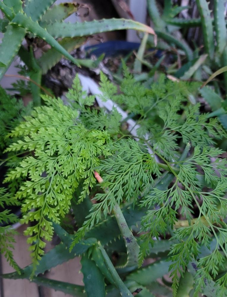 アロエの植木鉢に勝手に生えてきたものですが、これは何と言う植物なのでしょうか?? わかる方いましたらお願いします。