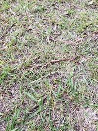 この雑草は何でしょうか? 芝生に地下で広がっていて抜いてもぶちぶち切れて抜ききれません。 冬は枯れているのですが暖かくなると復活してどんどん範囲が広がっています。 よろしければ効果のある除草剤を教えてくださいませ。