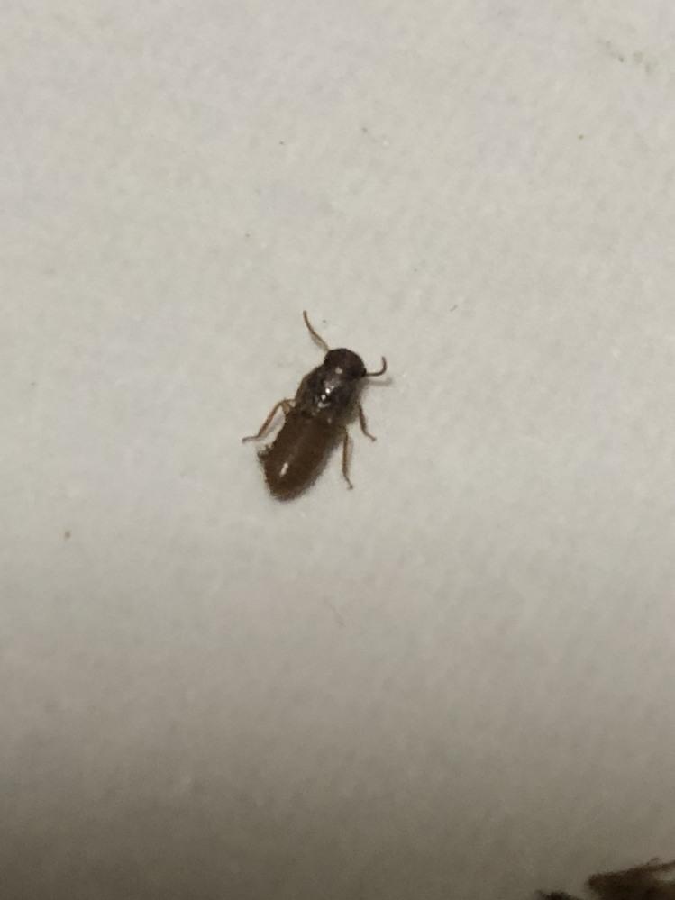 先程、質問させてもらったものですが 虫の表側の写真を添付してみます。 回答いただいた、 イエシロアリ か キクイムシ か おわかりでしょうか? それとも、また別の虫なのでしょうか?