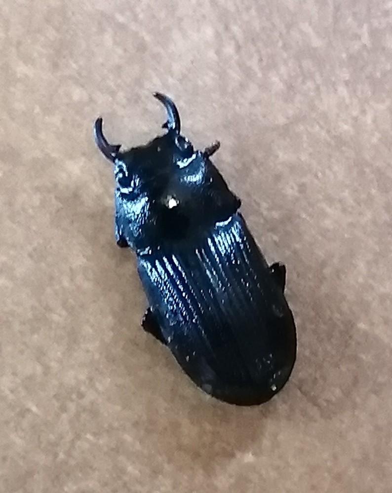 小さいクワガタ?ゴミムシ? この画像の虫はどちらでしょうか。1センチほどでとても小さいです。
