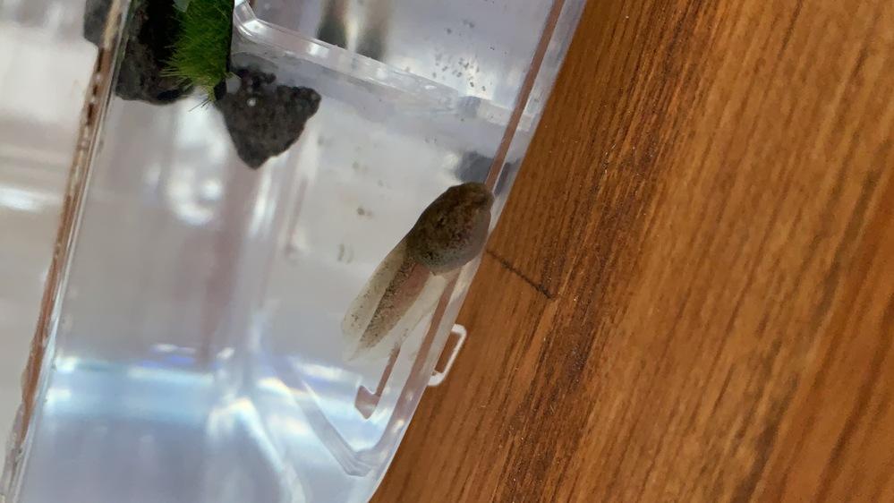 このおたまじゃくしはなんとゆう種類のカエルに成長しますか?