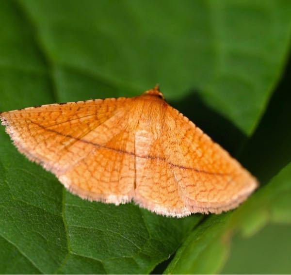 この蛾の名前を教えてください