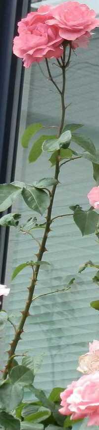 バラが異常に長くて大きいです 大した手入れはしていませんが、今年は異常に1本だけ長く、花片が大きいです。 何故でしょうか?