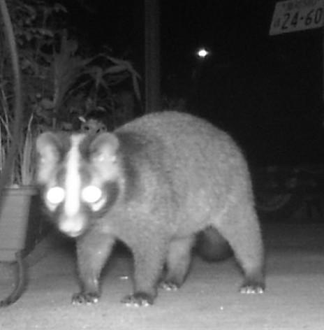 夜トレイルカメラに写っていた獣は、ハクビシンでしょうか?