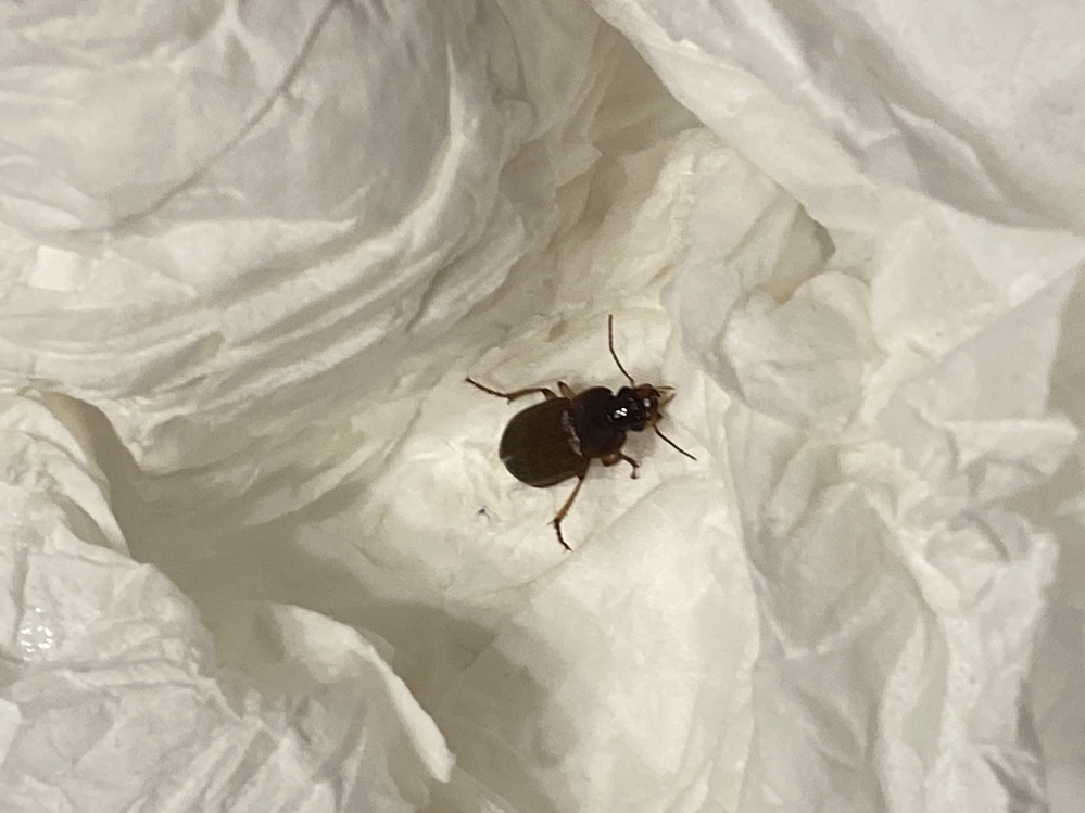 これは何の虫ですか? ゴキブリの赤ちゃんだったらどうしようと思って怖いです。 詳しい方教えてください。