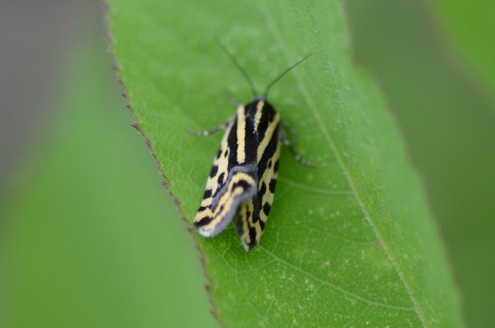 この蛾の名前を教えてください。お願いいたします。