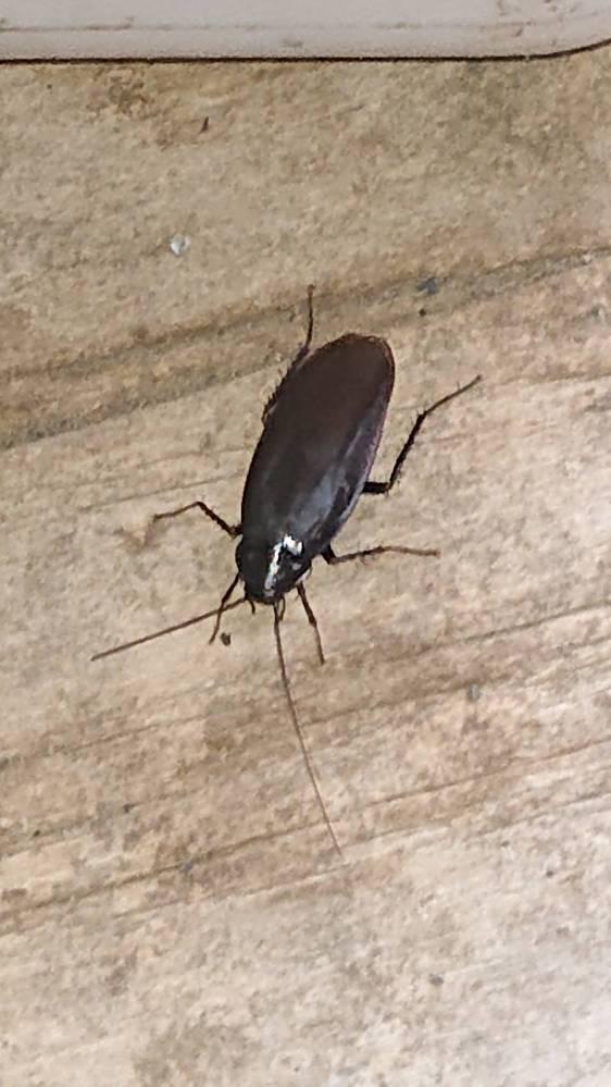 これはゴキブリでしょうか 親が頑なに信じてくれません 調べてそっくりな画像を見せても 40うん年暮らしていて長野でゴキブリを見た事ないと言い張り居るはずないと言っています ゴキブリですよね??
