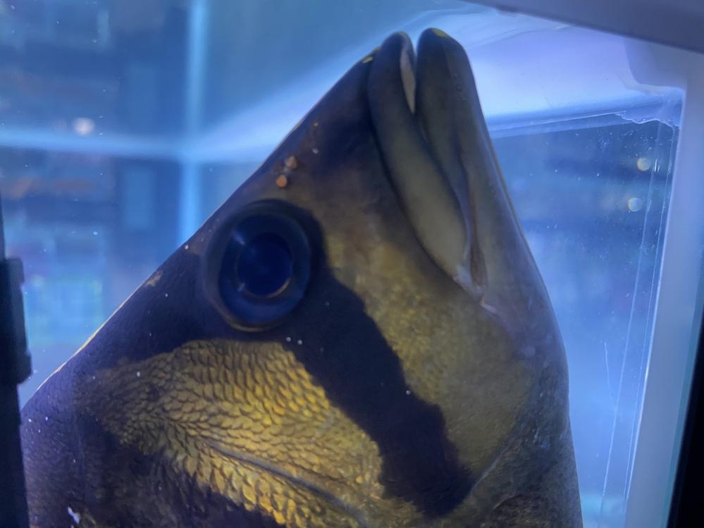 ダトニオについてまた質問があります。 こちらは目の白にごりになるのでしょうか? また治し方など有れば教えて頂きたいです。 ダトニオを初飼育している為調べてもわからない事が多いので教えて頂けると助かります。