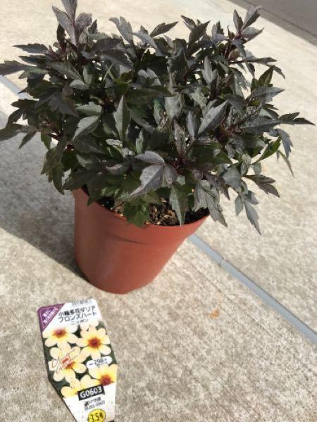 5月の終わりに写真の『小輪多花ダリア ブロンズハート ニッポン』という花を購入しました。 購入時、全体的にシワ枯れていて画像よりも小さく、葉っぱも少なく、1輪花が咲いていました。 今は元気に育ってモリモリな状態なんですが、一向に花が咲く気配がなく、葉だけが生い茂っています。 蕾のようなものは何個もあるんですが… タグには6月は開花期となっているのです。 切り戻し?とかしたらいいんでしょうか? あと、ダリアって花が咲く枝がひょろっと伸びて咲くのかと思っていたんですが、全体的に背丈が一緒で森のようになっています…。 北側の一日中ほぼ日が当たるところに置いてます。 水やりは乾いたらたっぷりを基本に与えていて、1週間に1回位液肥を与えてます。