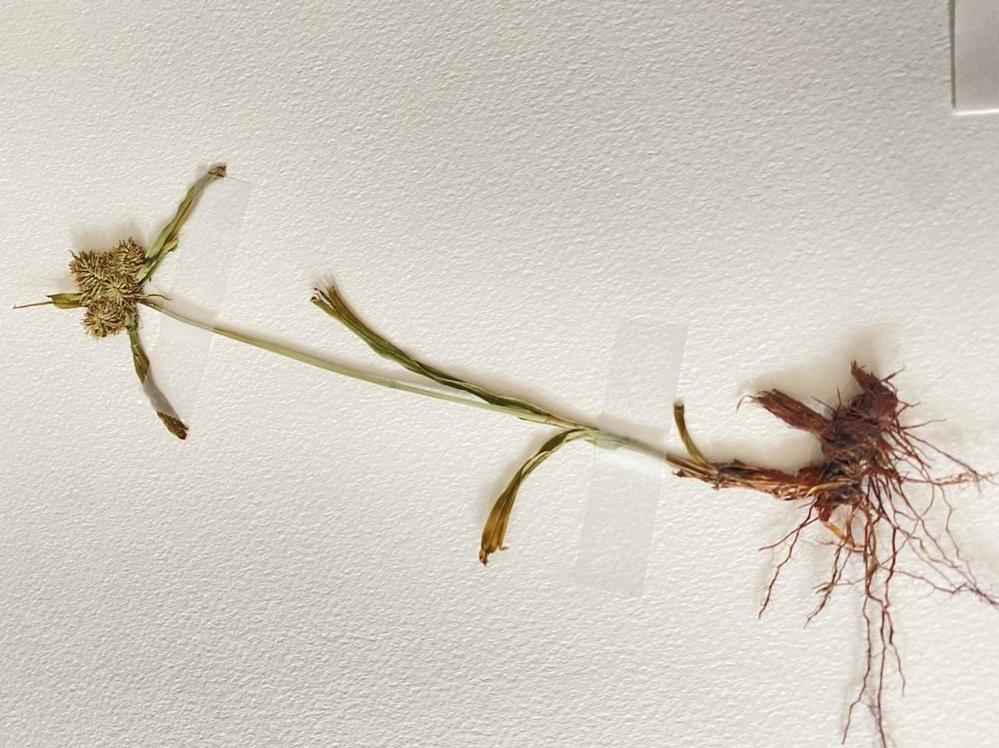 この植物の名前を教えて頂きたいです。 生息地はその辺の草地です。5月頃に採取しました。