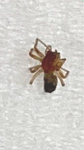 得体の知れない虫について質問します。 洗う前の洋服を入れた洗濯カゴの底に、小さな虫がいたので、気になって写真に撮りました。 アップで見た感じ、アリなのか、蜘蛛なのか、ノミなのか、よく分かりません。 最近、子供の体に虫刺されの跡があり、痒いと言っていたのも、気になります。 何か外来の怖い虫でなければいいのですが。 この虫は何という虫でしょうか? どなたか、詳しい方がおりましたら、教えて頂きたいです。